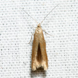 1287 - Coleophora persimplexella *