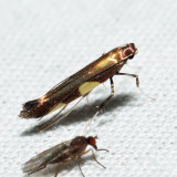 Caloptilia sp. 6.6.19