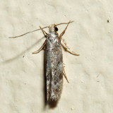 1789 - Green Hemlock Needleminer Moth - Coleotechnites apicitripunctella *