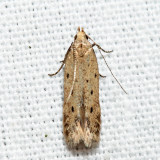1716 - Monochroa quinquepunctella 6.6.24