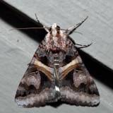 8641 - Figure Seven Moth - Drasteria grandirena