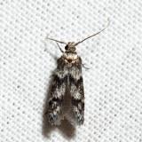 1171 - Asaphocrita aphidiella 6.8.3