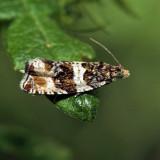 2770 - Dusky Leafroller - Orthotaenia undulana *