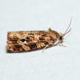 2772 - Labyrinth Moth - Phaecasiophora ?niveiguttana *