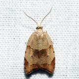 3747 - The Batman Moth - Coelostathma discopunctana *