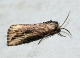 9661 - Verbena Moth - Crambodes talidiformis
