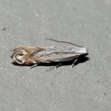 2227 - Battaristis nigratomella 6.11.8