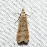 2283 - Spotted Dichomeris - Dichomeris punctidiscella 6.13.11