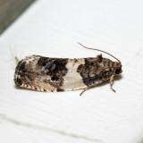 2769 - Poplar Leafroller - Pseudosciaphila duplex 6.13.21