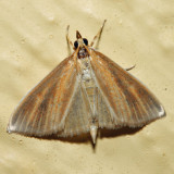 4937 - Streaked Orange Moth - Nascia acutella