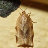 3632 - Broken-banded Leafroller - Choristoneura fractivittana 6.15.19