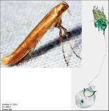 Caloptilia sp. 4897