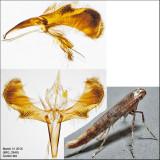 Caloptilia sp. 3-31-16.jpg