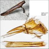 0635 - Caloptilia sp. (undescribed sumac feeder)