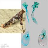 0637 – Caloptilia serotinella