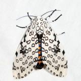 8146 - Giant Leopard Moth - Hypercompe scribonia