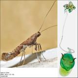0639 - Caloptilia stigmatella 4-21-16.jpg