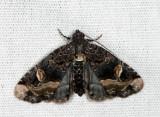 9057 - Black Wedge-Spot - Homophoberia apicosa
