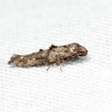 2328 - Epermenia albapunctella 6.19.1