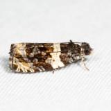 2823 - Olethreutes fasciatana 6.19.8