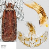 Micro Moths Identified with Genitalia Pictures (0855-1075)