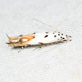 1443 - Red-streaked Mompha - Mompha eloisella 6.21.3