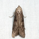 5630 - Terrenella Bee Moth - Aphomia terrenella