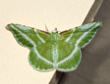 7053 - Showy Emerald - Dichorda iridaria