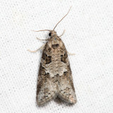 3567 - Gray Tortrix - Cnephasia stephensiana 6.22.22