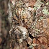 Humpbacked Orbweaver - Eustala anastera