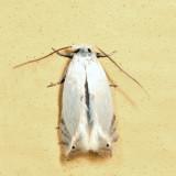 0122 - Gooseberry Barkminer - Pseudopostega quadristrigella 6.23.4*