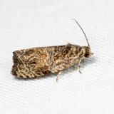 2817 - Raspberry Leafroller - Olethreutes permundana *