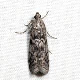 5827 - Pyla aenigmatica *