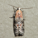 Dioryctria sp. 6.24.7