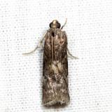 Salebriaria sp. 6.24.15
