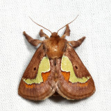 4697 - Spiny Oak-Slug Moth - Euclea delphinii