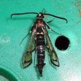 2583 - Peachtree Borer Moth - Synanthedon exitiosa