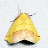 6912 - Sharp-lined Yellow - Sicya macularia
