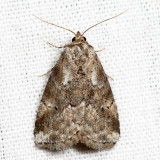 9035 - White-lined Graylet - Hyperstrotia nana 6.26.1