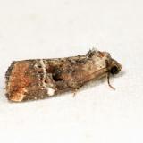 9678 - Variegated Midget - Elaphria versicolor 6.26.17