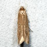 1515 - Shy Cosmet - Limnaecia phragmitella 6.26.20