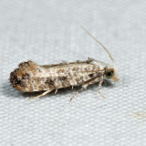 0317 - Clemens' Bark Moth - Xylesthia pruniramiella 6.26.31