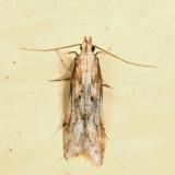 1685 - Burdock Seedhead Moth - Metzneria lappella 6.27.1