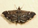 Diathrausta sp. 6.27.21
