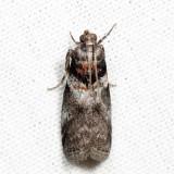 5775 - Salebriaria tenebrosella 6.27.22