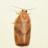 3593 – Woodgrain Leafroller – Pandemis lamprosana 6.27.24