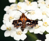 6076 - Spotted Thyris - Thyris maculata