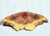 6255 - Rose Hooktip - Oreta rosea