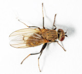 Notiphila subgenus Agrolimna