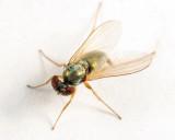 Medeterinae